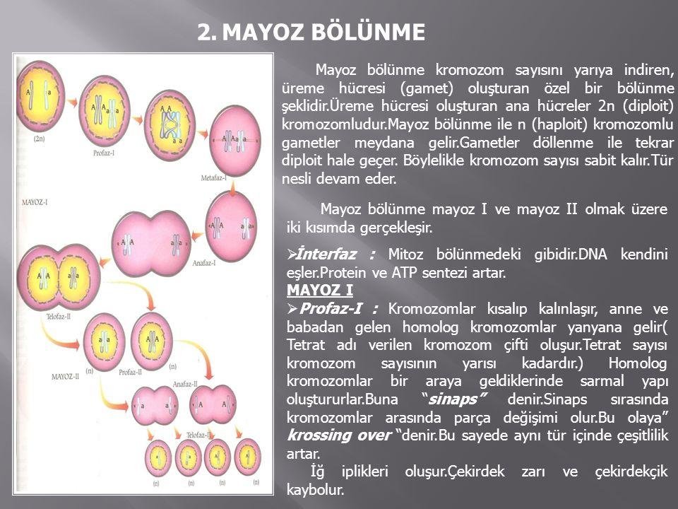 2.MAYOZ BÖLÜNME Mayoz bölünme kromozom sayısını yarıya indiren, üreme hücresi (gamet) oluşturan özel bir bölünme şeklidir.Üreme hücresi oluşturan ana hücreler 2n (diploit) kromozomludur.Mayoz bölünme ile n (haploit) kromozomlu gametler meydana gelir.Gametler döllenme ile tekrar diploit hale geçer.