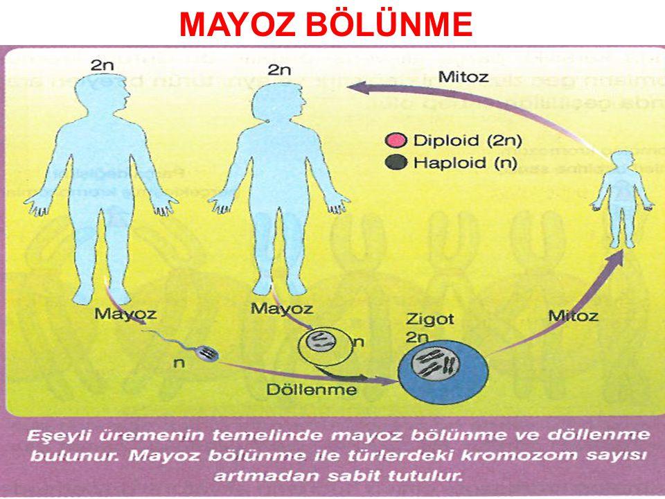 Mayoz bölünme bitki, insan ve hayvanlarda üreme hücrelerinin (sperm, yumurta ve polen) oluşturulmasını sağlar.