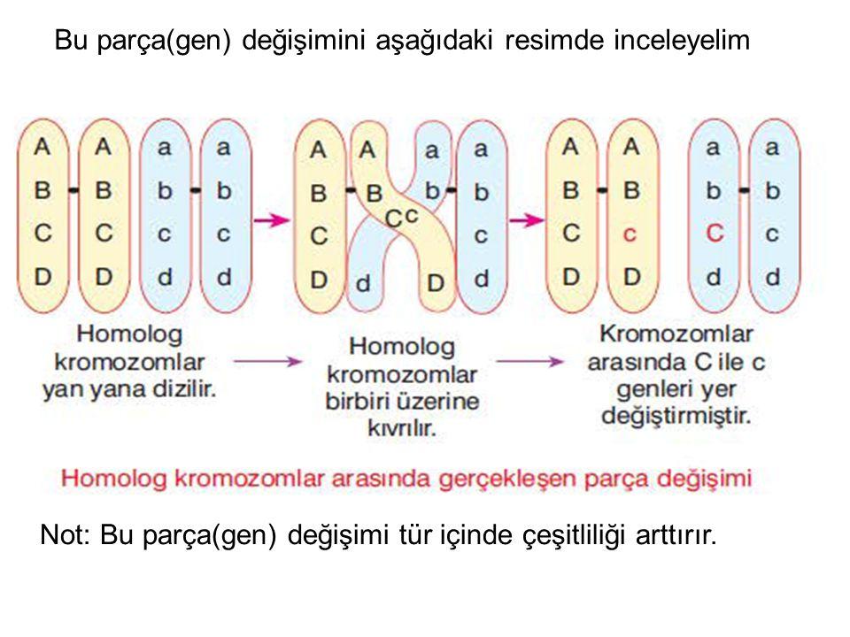 Parça değişiminden sonra kromozomlar, hücrenin ortasına dizilir.