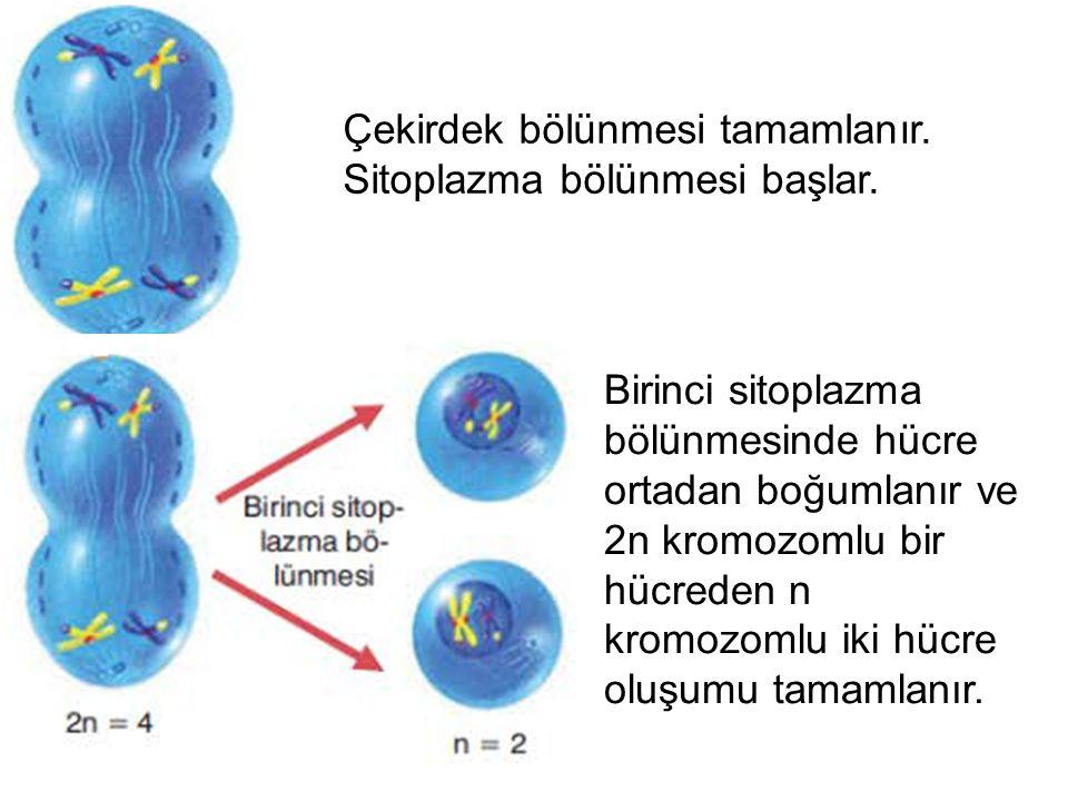 MAYOZ 2 2.mayoz, mitoz bölünmeyle benzer şekilde gerçekleşir.