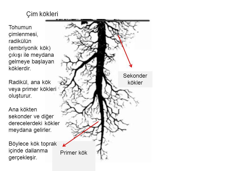 Sekonder kökler Primer kök Tohumun çimlenmesi, radikülün (embriyonik kök) çıkışı ile meydana gelmeye başlayan köklerdir. Radikül, ana kök veya primer