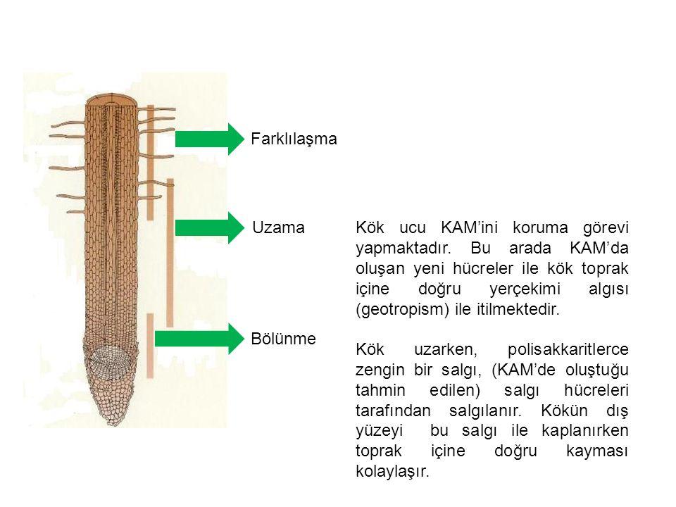 Kök ucu KAM'ini koruma görevi yapmaktadır. Bu arada KAM'da oluşan yeni hücreler ile kök toprak içine doğru yerçekimi algısı (geotropism) ile itilmekte