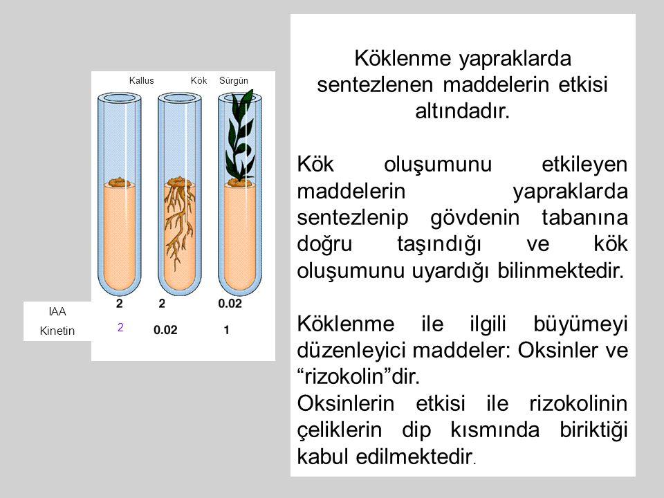 Köklenme yapraklarda sentezlenen maddelerin etkisi altındadır. Kök oluşumunu etkileyen maddelerin yapraklarda sentezlenip gövdenin tabanına doğru taşı