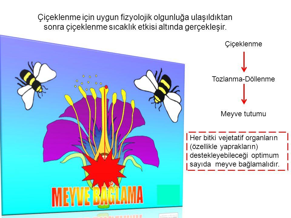 Çiçeklenme için uygun fizyolojik olgunluğa ulaşıldıktan sonra çiçeklenme sıcaklık etkisi altında gerçekleşir. Çiçeklenme Tozlanma-Döllenme Meyve tutum