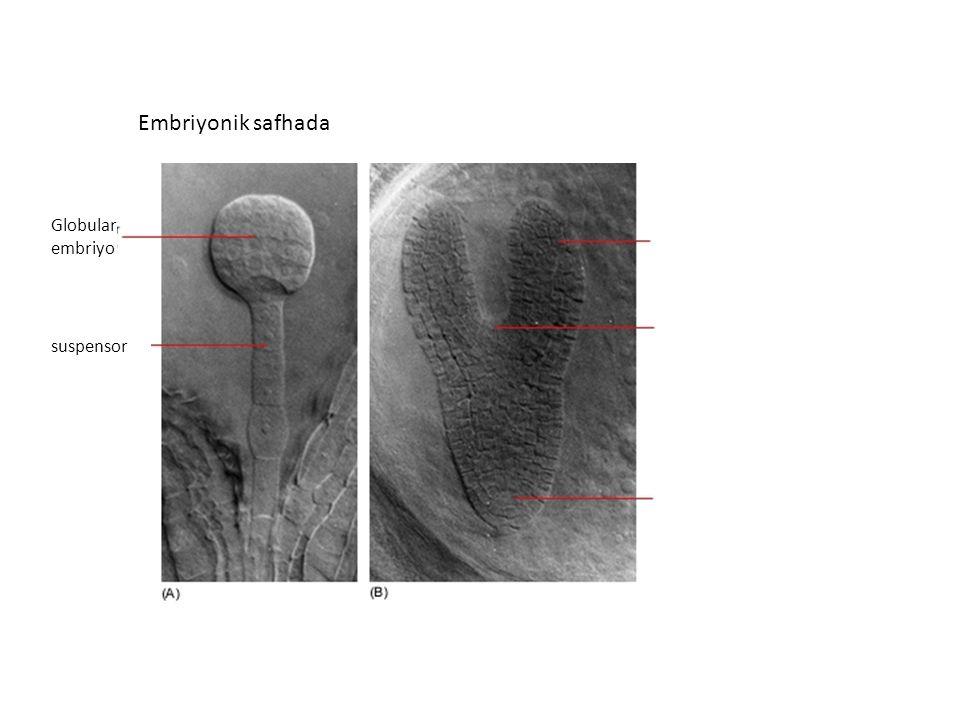 Embriyonik safhada Kotiledon Gövde ucu apikal meristemi Kök ucu apikal meristemi