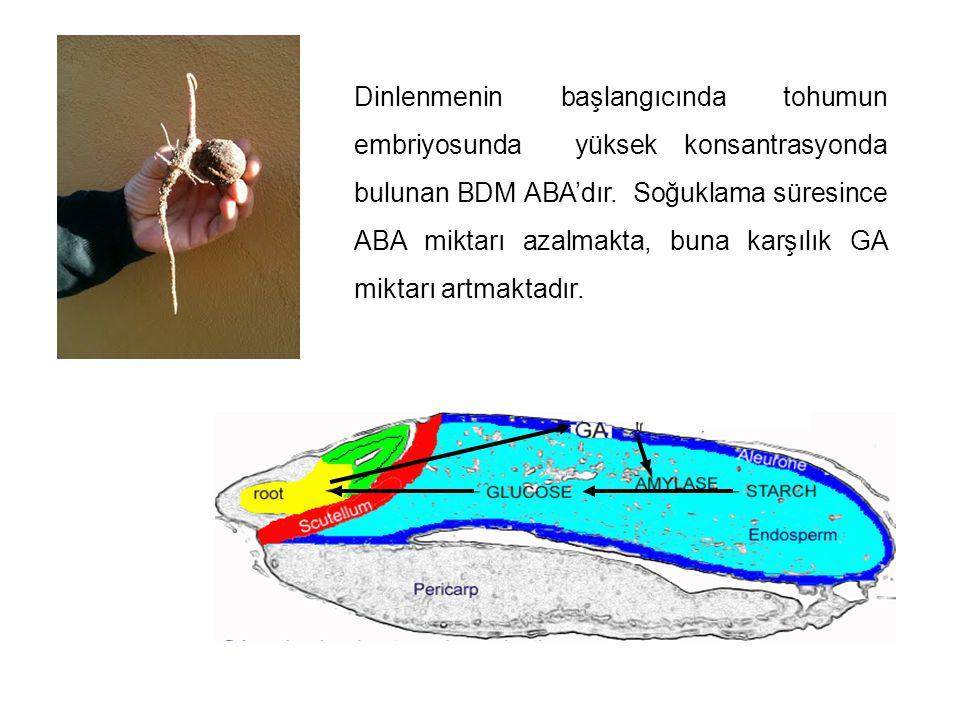 Dinlenmenin başlangıcında tohumun embriyosunda yüksek konsantrasyonda bulunan BDM ABA'dır. Soğuklama süresince ABA miktarı azalmakta, buna karşılık GA