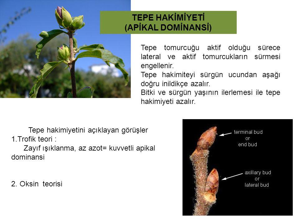 TEPE HAKİMİYETİ (APİKAL DOMİNANSİ) Tepe tomurcuğu aktif olduğu sürece lateral ve aktif tomurcukların sürmesi engellenir. Tepe hakimiteyi sürgün ucunda