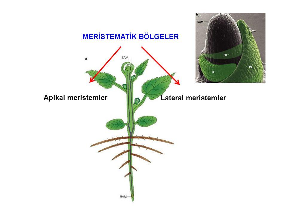 Çiçeklenme Fizyolojisi Çiçek oluşumu ve gelişimi neden önemlidir.