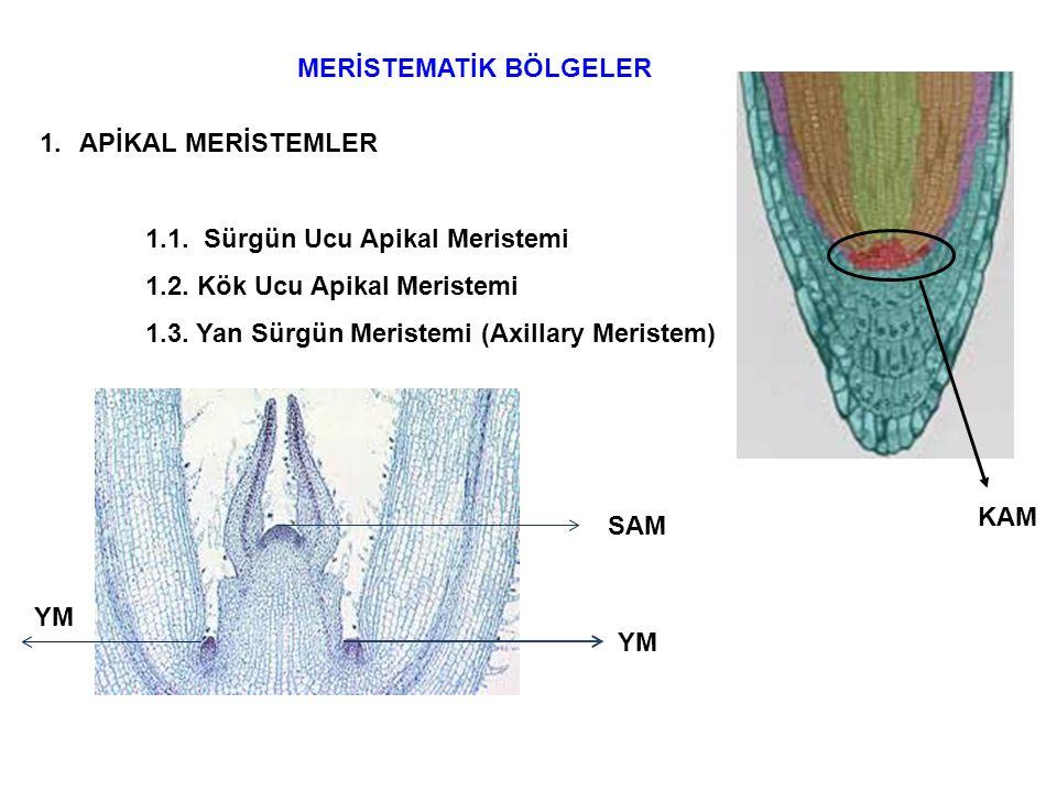 Kabuk kambiyum u Kabuk Floem Ksilem Vasküler kambiyum 2.