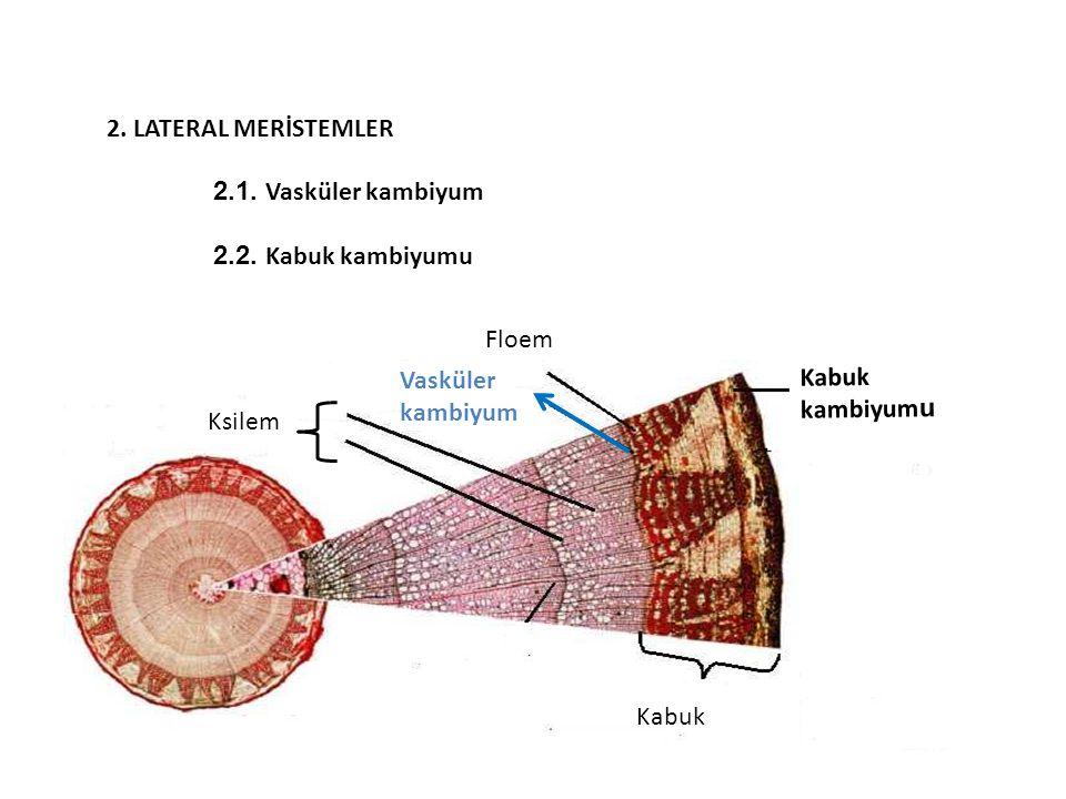 Kabuk kambiyum u Kabuk Floem Ksilem Vasküler kambiyum 2. LATERAL MERİSTEMLER 2.1. Vasküler kambiyum 2.2. Kabuk kambiyumu