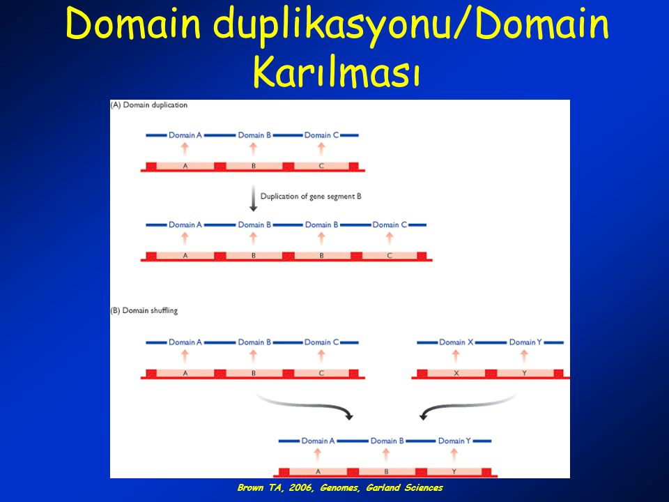 Domain duplikasyonu/Domain Karılması Brown TA, 2006, Genomes, Garland Sciences