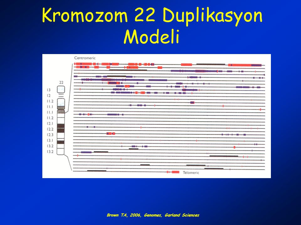 Kromozom 22 Duplikasyon Modeli Brown TA, 2006, Genomes, Garland Sciences