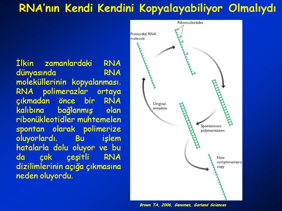 RİBOZİMLER VE KODLAYICI RNA İlk kodlayıcı RNA ile ilgili iki muhtemel senaryo bulunmaktadır: Hem katalitik hem de kodlayıcı özelliği olan bir ribozim evrimleşmiş olabilir (A) veya bir ribozim kodlayıcı bir molekülü sentezlemiş olabilir (B).