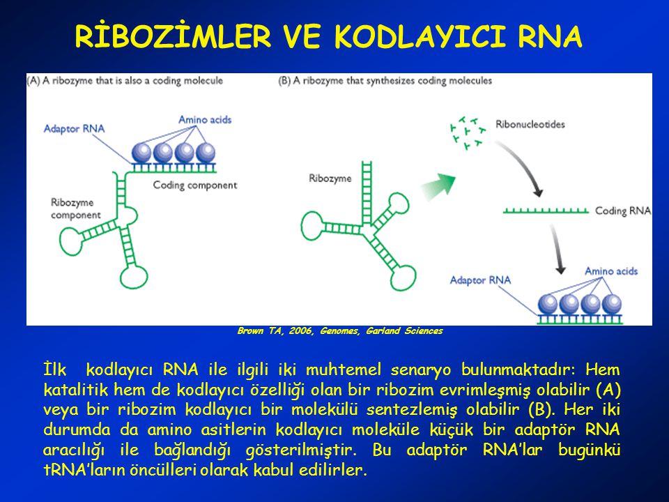 RİBOZİMLER VE KODLAYICI RNA İlk kodlayıcı RNA ile ilgili iki muhtemel senaryo bulunmaktadır: Hem katalitik hem de kodlayıcı özelliği olan bir ribozim