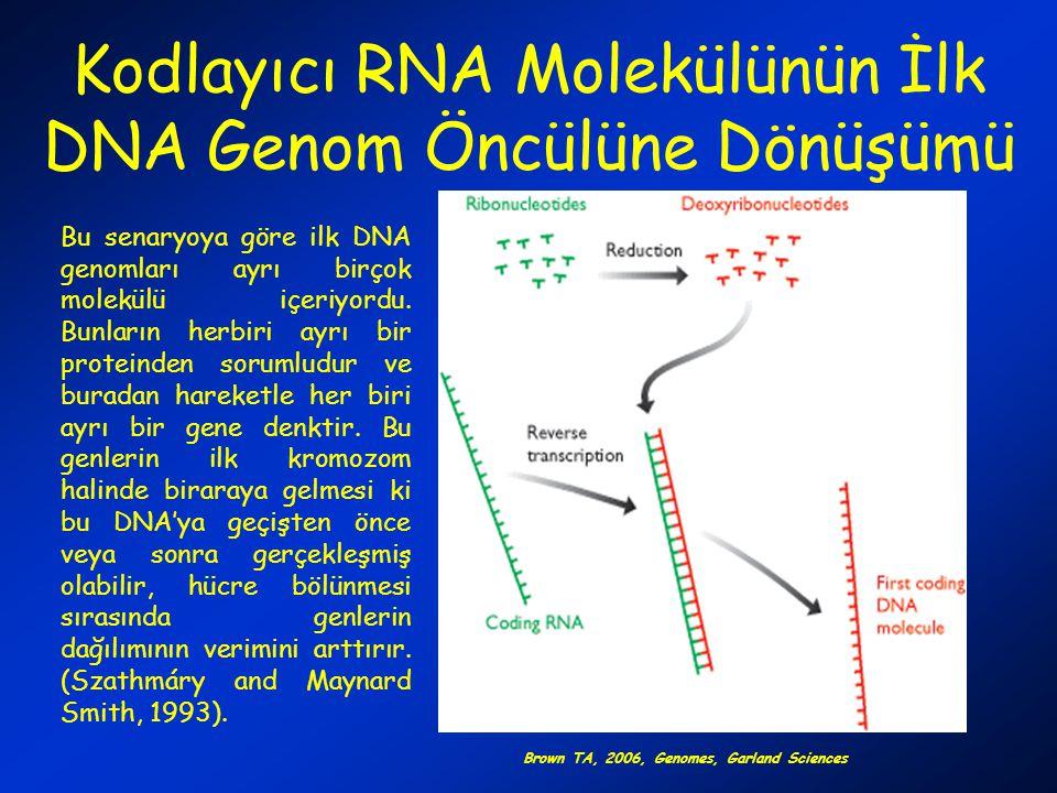 Kodlayıcı RNA Molekülünün İlk DNA Genom Öncülüne Dönüşümü Bu senaryoya göre ilk DNA genomları ayrı birçok molekülü içeriyordu. Bunların herbiri ayrı b