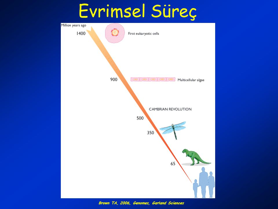 Evrimsel Süreç Brown TA, 2006, Genomes, Garland Sciences