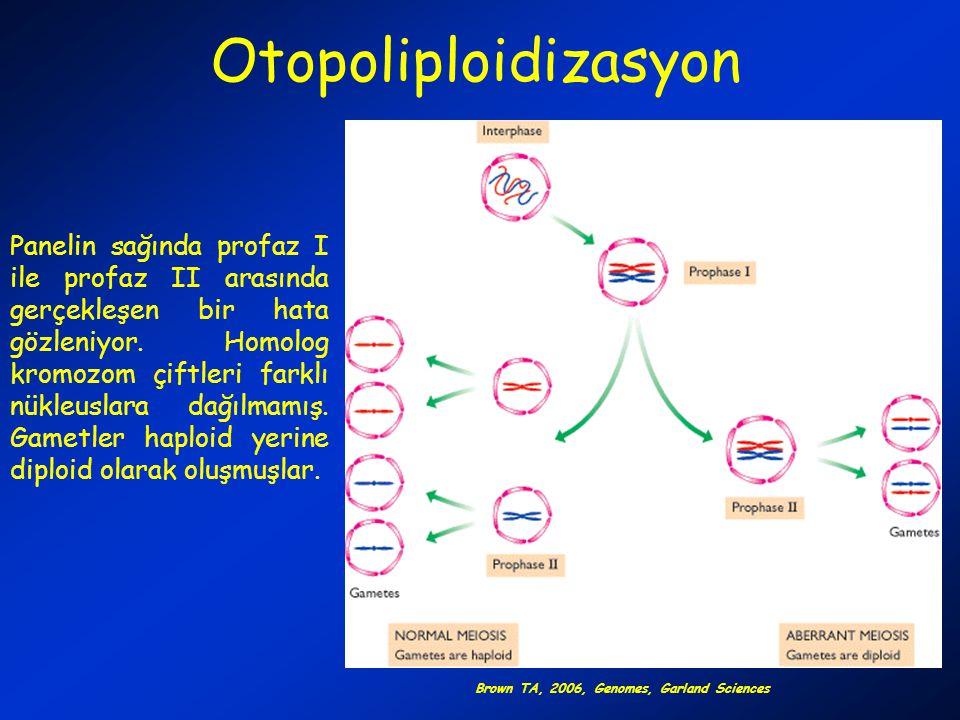Otopoliploidizasyon Panelin sağında profaz I ile profaz II arasında gerçekleşen bir hata gözleniyor. Homolog kromozom çiftleri farklı nükleuslara dağı