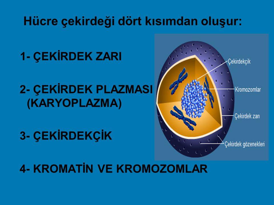 Hücre çekirdeği dört kısımdan oluşur: 1- ÇEKİRDEK ZARI 2- ÇEKİRDEK PLAZMASI (KARYOPLAZMA) 3- ÇEKİRDEKÇİK 4- KROMATİN VE KROMOZOMLAR