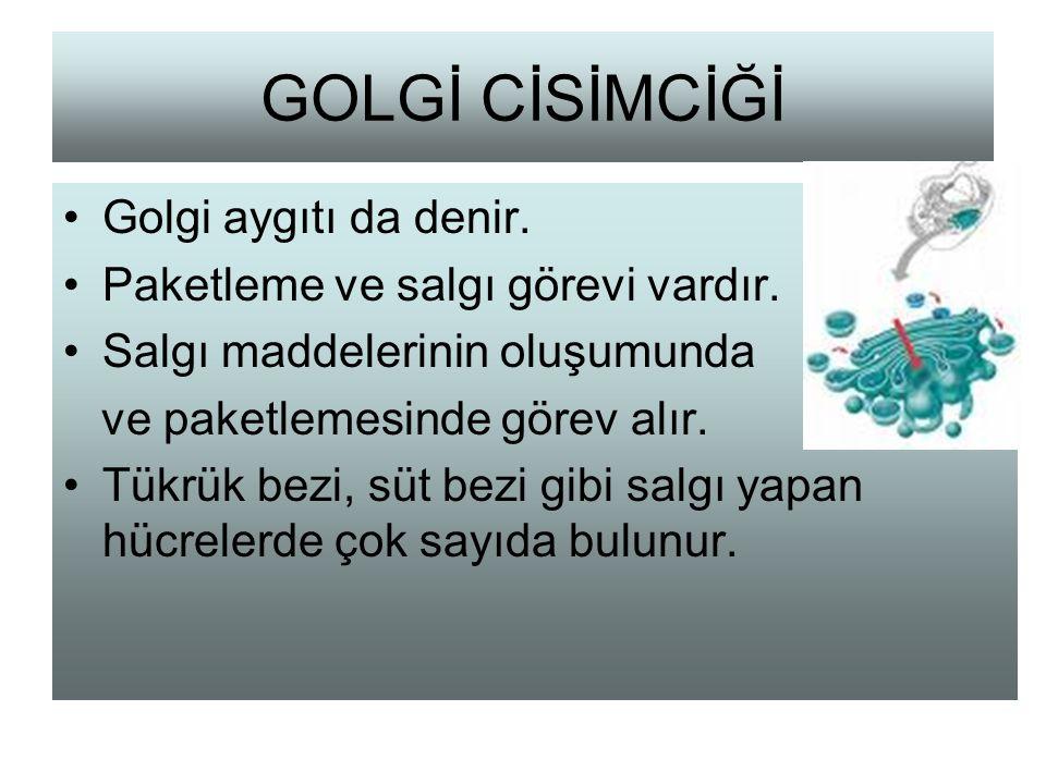 GOLGİ CİSİMCİĞİ Golgi aygıtı da denir. Paketleme ve salgı görevi vardır. Salgı maddelerinin oluşumunda ve paketlemesinde görev alır. Tükrük bezi, süt