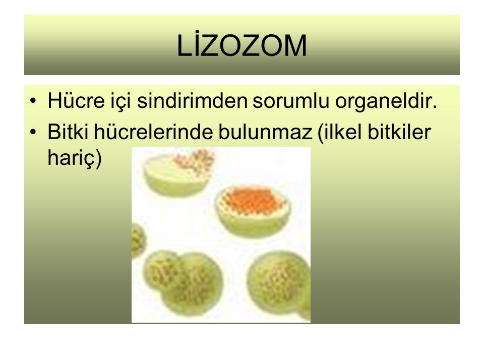 LİZOZOM Hücre içi sindirimden sorumlu organeldir. Bitki hücrelerinde bulunmaz (ilkel bitkiler hariç)