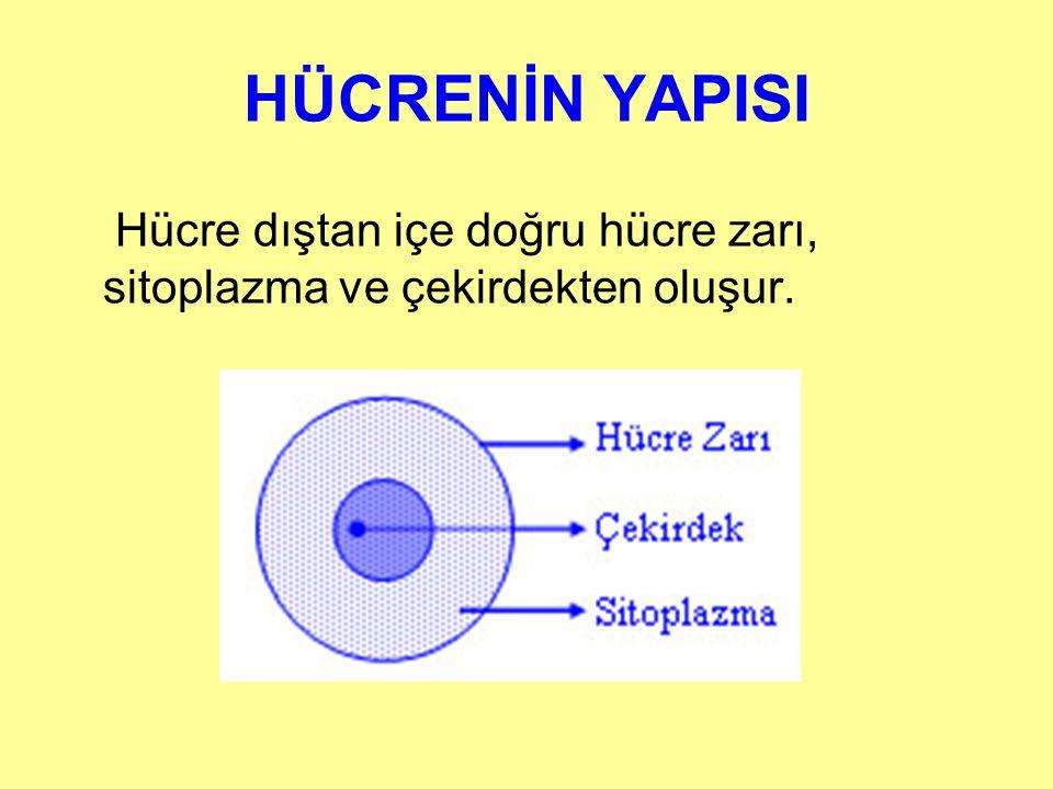 HÜCRENİN YAPISI Hücre dıştan içe doğru hücre zarı, sitoplazma ve çekirdekten oluşur.