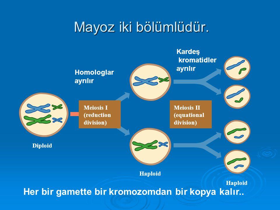 a)Kromozomların ayrılamaması (non disjunction olayı)  Kromozom anomalilerini meydana getiren mekanizmalardan en önemlisi mayozda gametlere az, ya da çok sayıda kromozom gitmesidir.