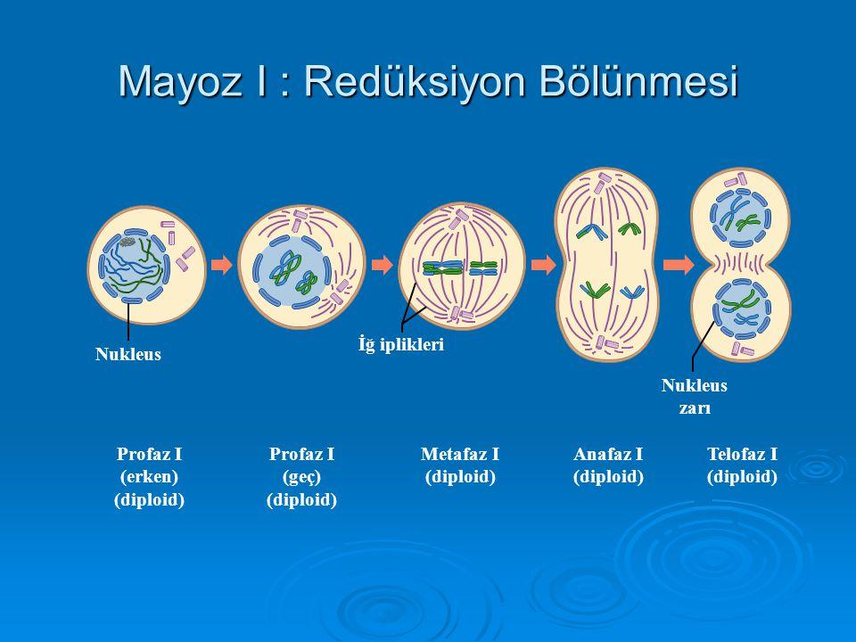 Mayoz iki bölümlüdür. Homologlar ayrılır Kardeş kromatidler ayrılır Her bir gamette bir kromozomdan bir kopya kalır.. Haploid Diploid Meiosis I (reduc
