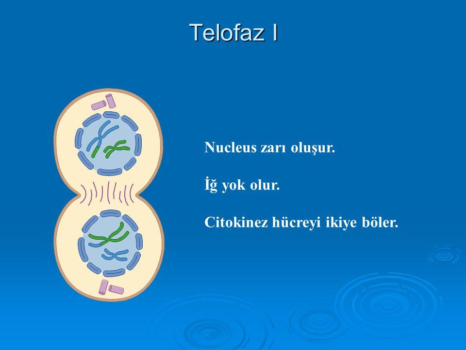 Anafaz I Homologlar ayrılır ve Kutuplara hareket ederler. Kardeş kromatidler Sentromerle bağlı olarak kalır.