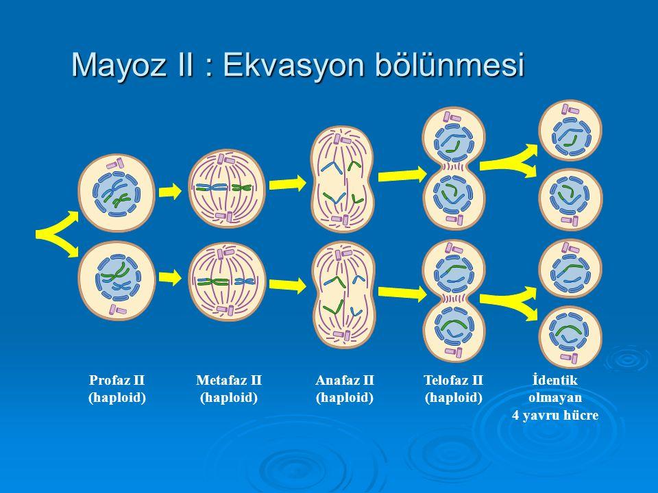 Telofaz I Nucleus zarı oluşur. İğ yok olur. Citokinez hücreyi ikiye böler.