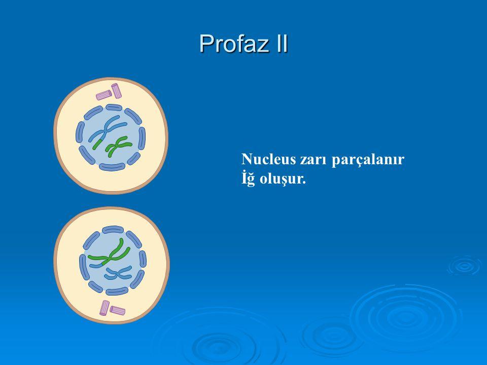 Mayoz II : Ekvasyon bölünmesi Profaz II (haploid) Metafaz II (haploid) Anafaz II (haploid) Telofaz II (haploid) İdentik olmayan 4 yavru hücre