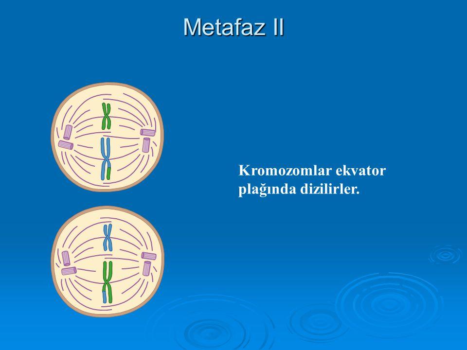 Profaz II Nucleus zarı parçalanır İğ oluşur.