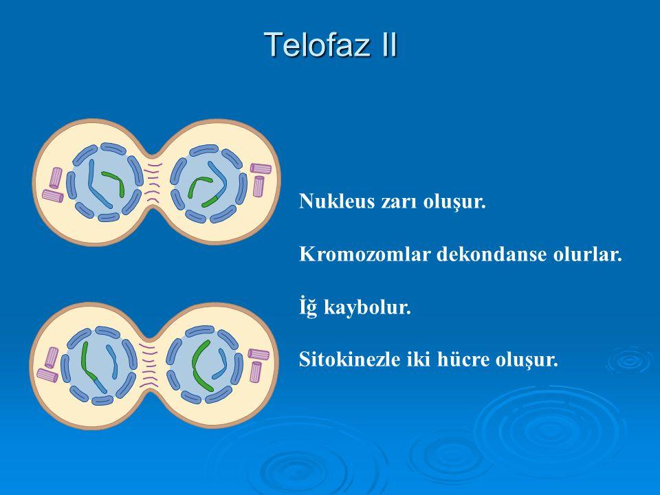 Anafaz II Kardeş kromatidler ayrılırlar ve zıt kutuplara giderler.