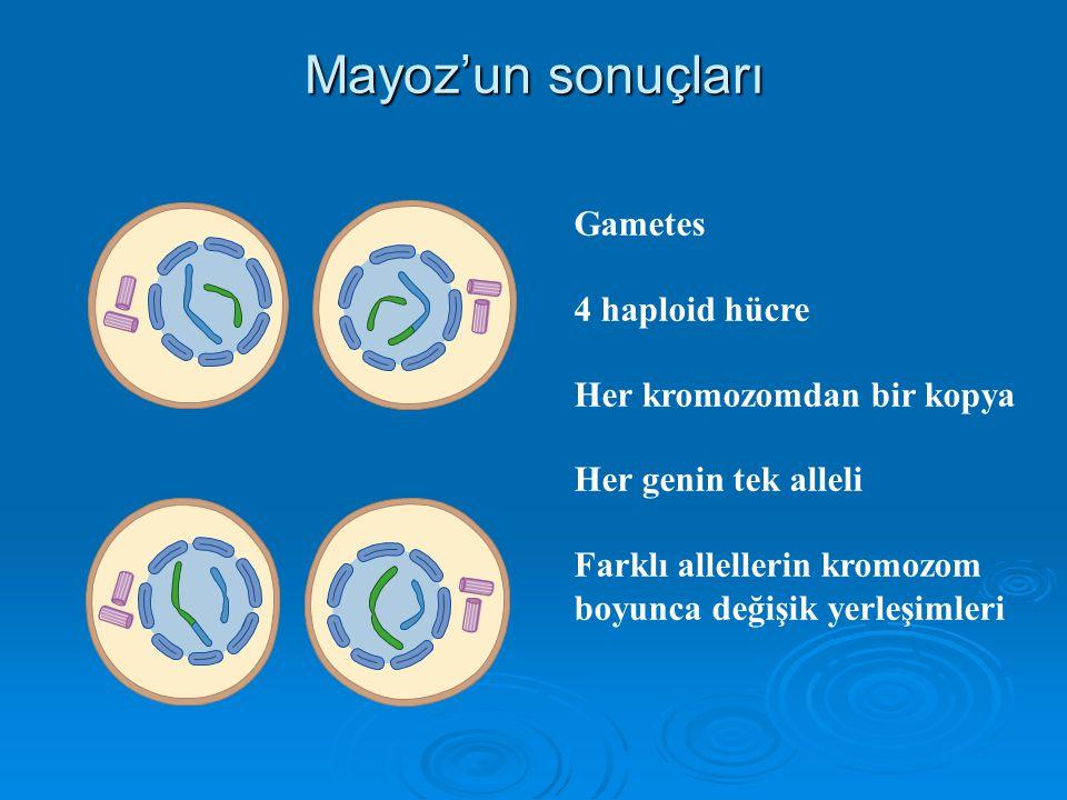 Telofaz II Nukleus zarı oluşur. Kromozomlar dekondanse olurlar. İğ kaybolur. Sitokinezle iki hücre oluşur.