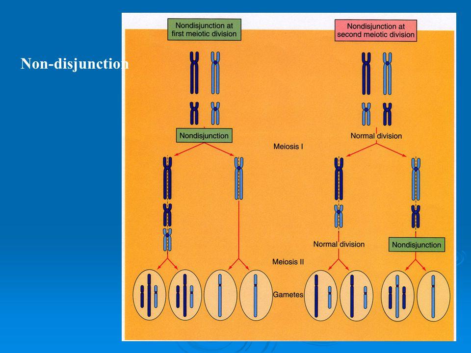 Mayoz'un sonuçları Gametes 4 haploid hücre Her kromozomdan bir kopya Her genin tek alleli Farklı allellerin kromozom boyunca değişik yerleşimleri