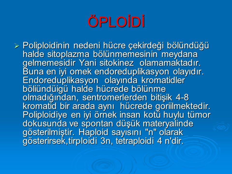 ÖPLOİDİ  Bu durumda kromozom sayısı o organizma türü için normal olan haploid sayısının tam katları biçiminde artmaktadır. Örneğin insanda haploid sa