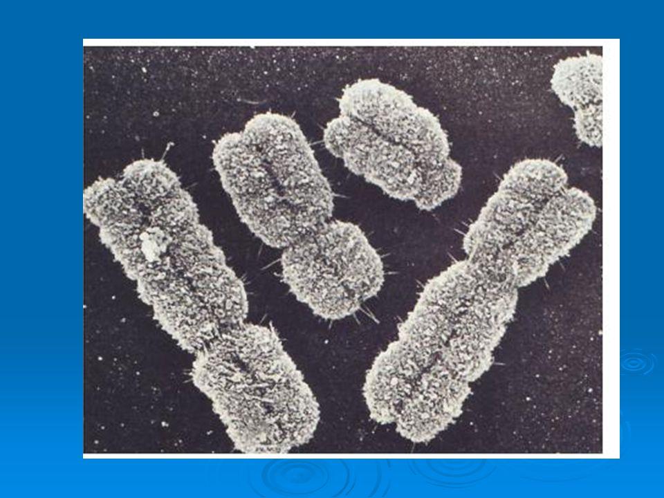 KROMOZOMLARIN İŞLEVLERİ  I) Kromozomlar, organizmanın genetik yapıtaşları olan genleri taşırlar.