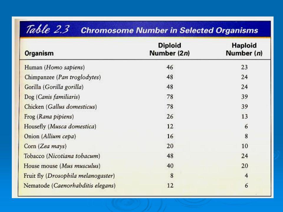 KROMOZOM MORFOLOJiSi KROMOZOM MORFOLOJiSi  46 tek yada 23 çift olan insan kromozomları mikroskobu altında, hücre bölünmesinin metafaz evresinde kolay