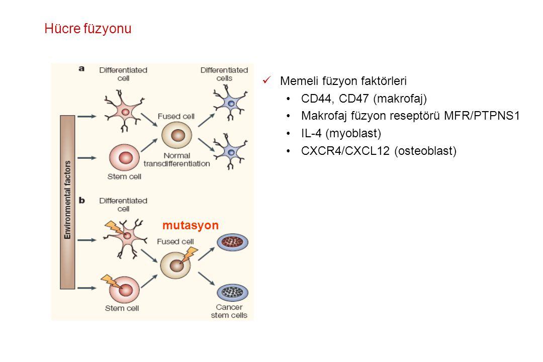 Memeli füzyon faktörleri CD44, CD47 (makrofaj) Makrofaj füzyon reseptörü MFR/PTPNS1 IL-4 (myoblast) CXCR4/CXCL12 (osteoblast) mutasyon Hücre füzyonu