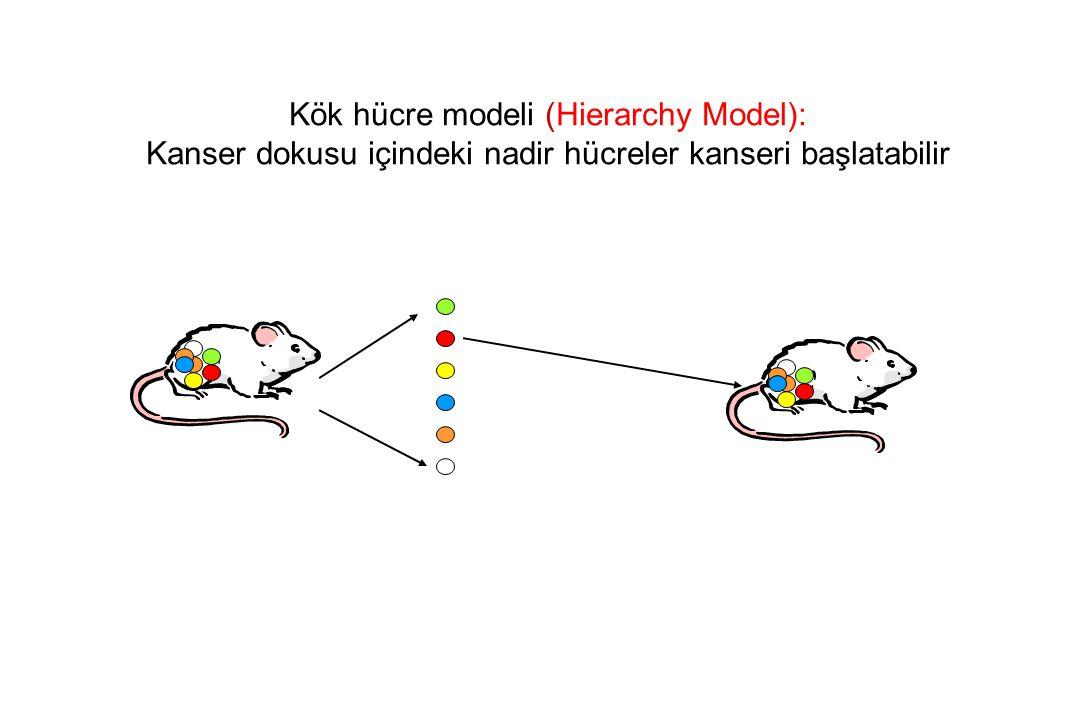 Kök hücre modeli (Hierarchy Model): Kanser dokusu içindeki nadir hücreler kanseri başlatabilir