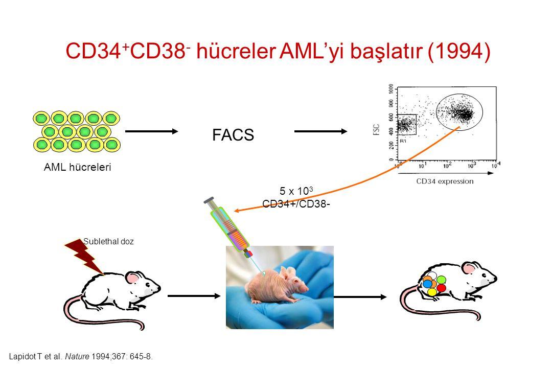 CD34 + CD38 - hücreler AML'yi başlatır (1994) Sublethal doz FACS AML hücreleri 5 x 10 3 CD34+/CD38- Lapidot T et al. Nature 1994;367: 645-8.