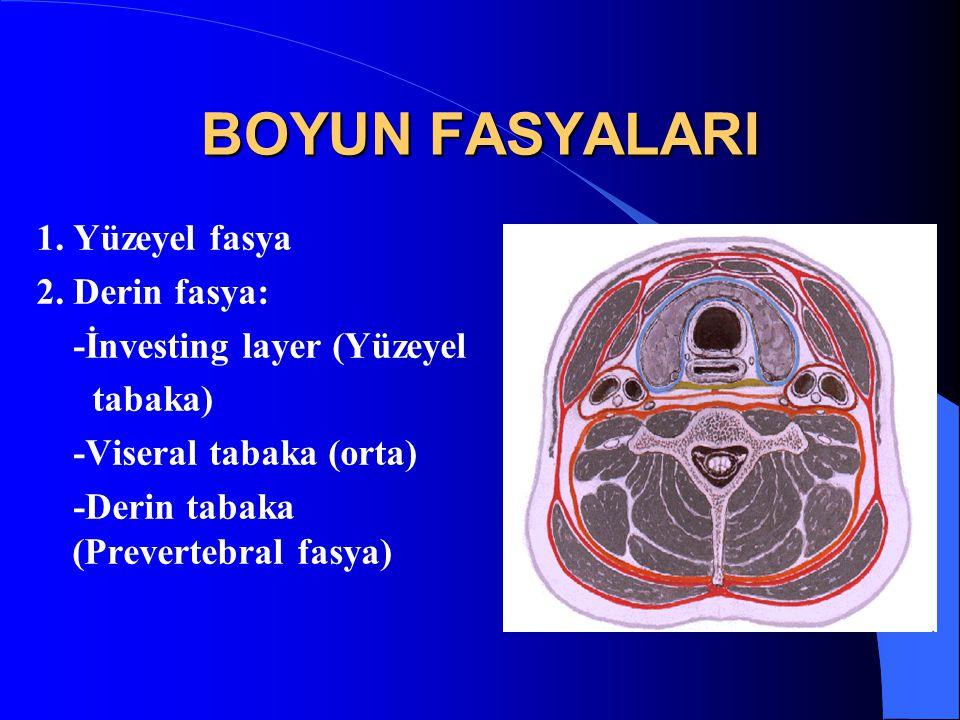 BOYUN FASYALARI 1. Yüzeyel fasya 2. Derin fasya: -İnvesting layer (Yüzeyel tabaka) -Viseral tabaka (orta) -Derin tabaka (Prevertebral fasya)