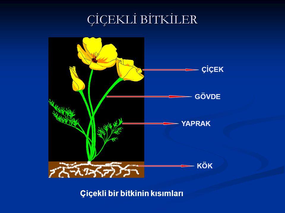 ÇİÇEKLİ BİTKİLER KÖK GÖVDE YAPRAK ÇİÇEK Çiçekli bir bitkinin kısımları