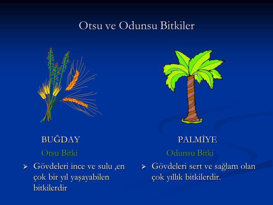 Otsu ve Odunsu Bitkiler BUĞDAY Otsu Bitki  Gövdeleri ince ve sulu,en çok bir yıl yaşayabilen bitkilerdir PALMİYE Odunsu Bitki  Gövdeleri sert ve sağ