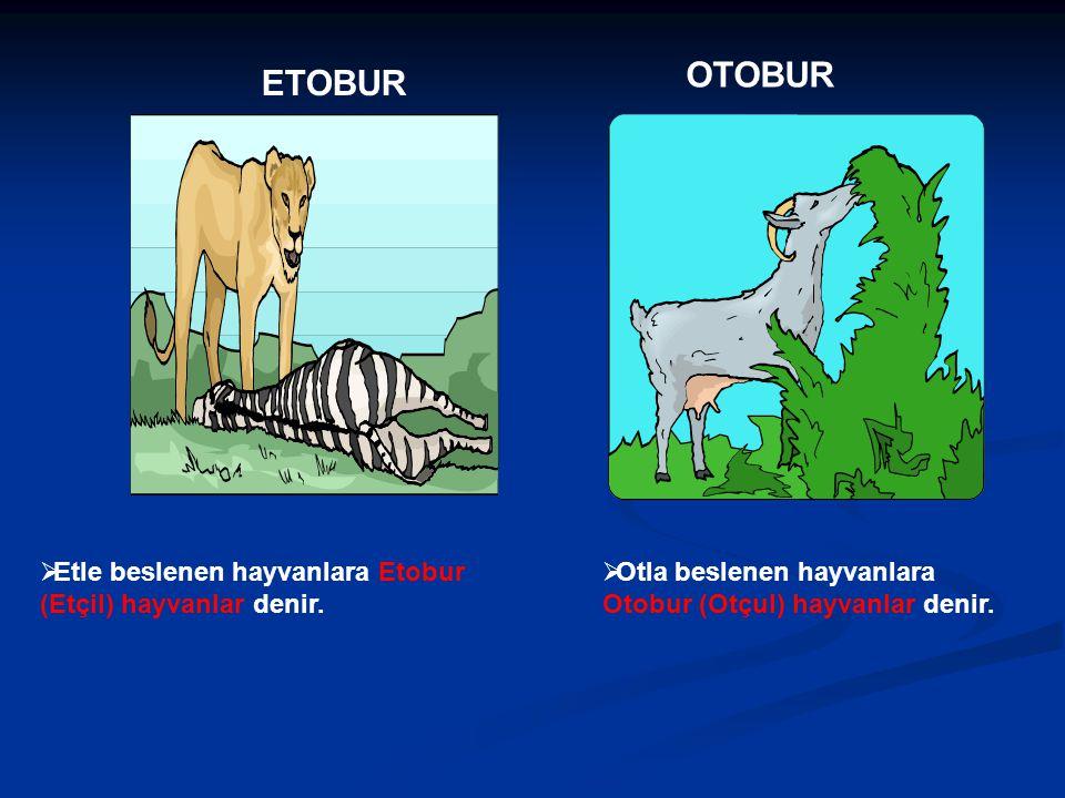 ETOBUR OTOBUR  Otla beslenen hayvanlara Otobur (Otçul) hayvanlar denir.  Etle beslenen hayvanlara Etobur (Etçil) hayvanlar denir.
