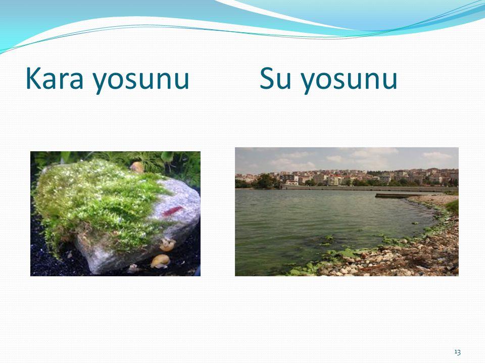 Kara yosunu Su yosunu 13
