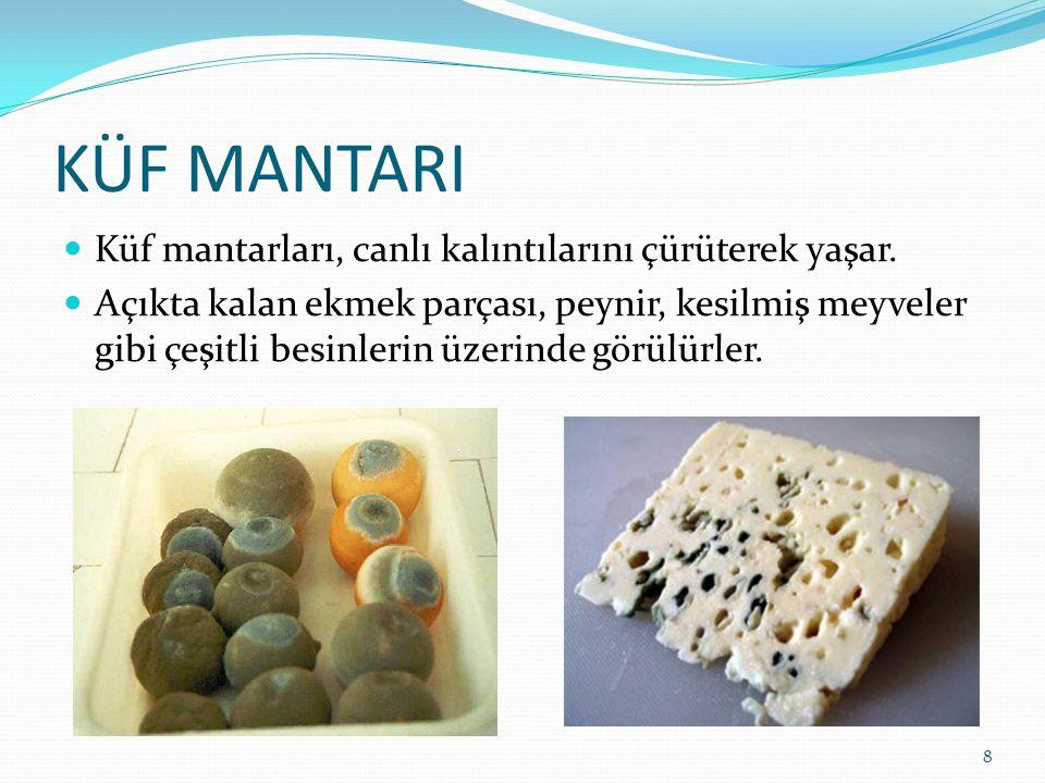 KÜF MANTARI Küf mantarları, canlı kalıntılarını çürüterek yaşar. Açıkta kalan ekmek parçası, peynir, kesilmiş meyveler gibi çeşitli besinlerin üzerind