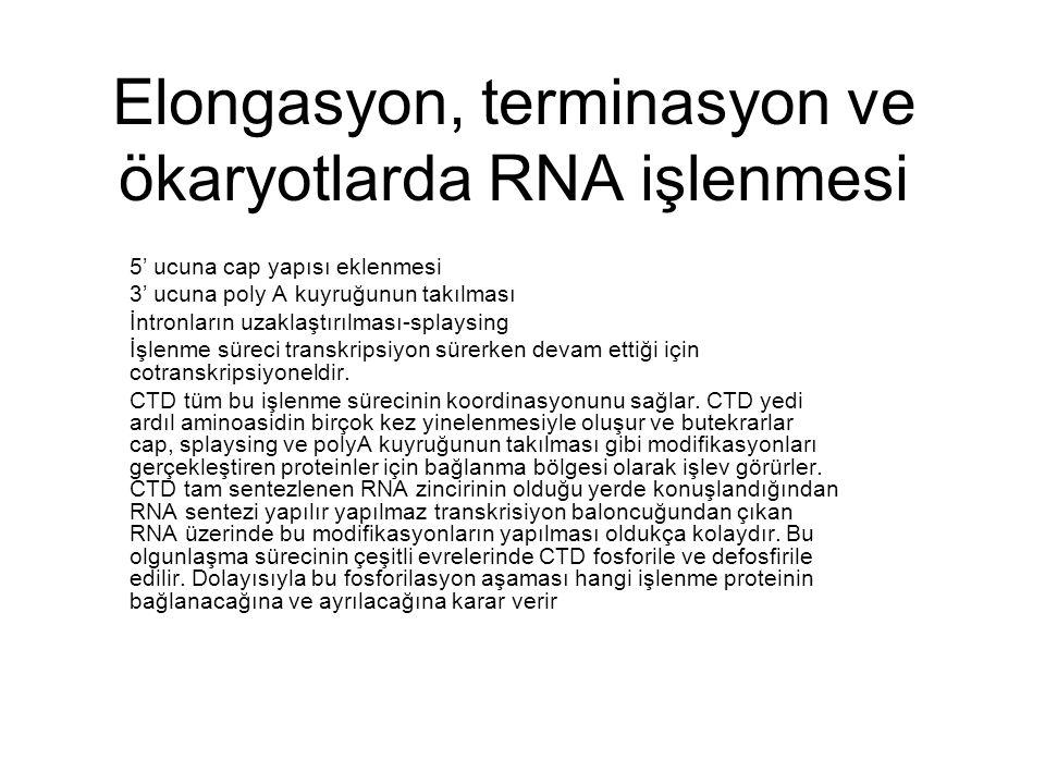 Elongasyon, terminasyon ve ökaryotlarda RNA işlenmesi 5' ucuna cap yapısı eklenmesi 3' ucuna poly A kuyruğunun takılması İntronların uzaklaştırılması-