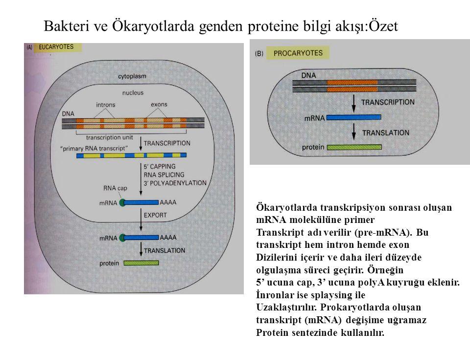 Bakteri ve Ökaryotlarda genden proteine bilgi akışı:Özet Ökaryotlarda transkripsiyon sonrası oluşan mRNA molekülüne primer Transkript adı verilir (pre