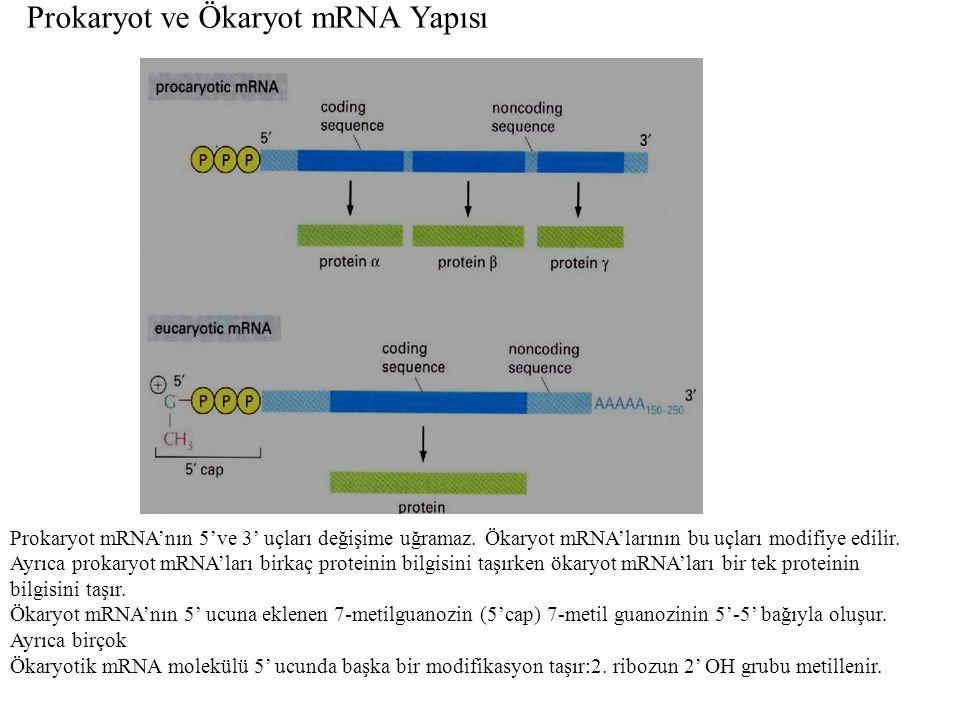 Prokaryot ve Ökaryot mRNA Yapısı Prokaryot mRNA'nın 5've 3' uçları değişime uğramaz. Ökaryot mRNA'larının bu uçları modifiye edilir. Ayrıca prokaryot