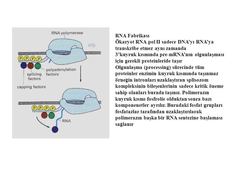 RNA Fabrikası Ökaryot RNA pol II sadece DNA'yı RNA'ya transkribe etmez aynı zamanda 3'kuyruk kısmında pre-mRNA'nın olgunlaşması için gerekli proteinle